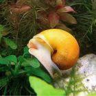 Как ухаживать за улитками в аквариуме: ампуллярии