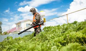 Борщевик — опасное растение на вашем участке