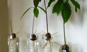 Как посадить авокадо из косточки дома
