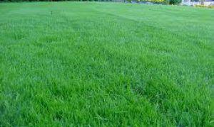 Как посадить газонную траву вокруг дома
