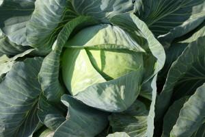 Как шинковать капусту и как тушить капусту