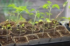 Как правильно вырастить рассаду помидор: советы дачникам