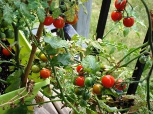Как вырастить помидоры правильно