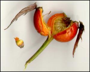 Семена розы