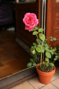 Роза из отростка