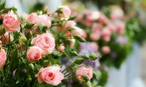 Спрей розы – особенности и уход