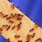 Как избавиться от домашних муравьёв.