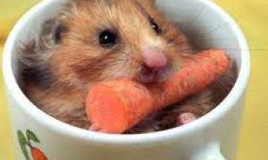 Как правильно кормить хомячков.