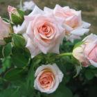 Как посадить розу