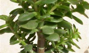 Как ухаживать за денежным деревом и как оно цветёт