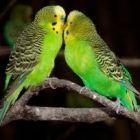 Как содержать волнистых попугайчиков