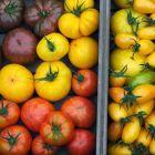 Как вырастить хороший урожай помидор