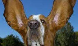 Как избавиться от заболеваний ушей у собаки