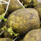 Как правильно выращивать картофель