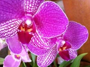 Как ухаживать за орхидеей домашней