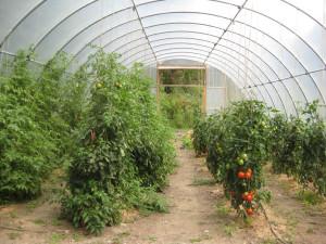 Как вырастить помидоры в теплице: подготовка земли и уход за культурой