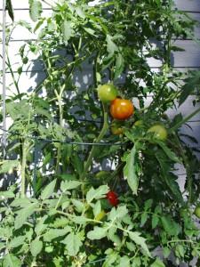 Как вырастить хороший урожай помидор: правильный уход за растением