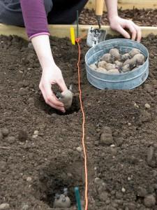 Как сажать картошку правильно