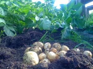 Ранний урожай картофеля