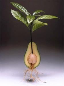 Рост авокадо в разрезе