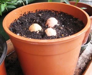 Посадка семян авокадо в землю
