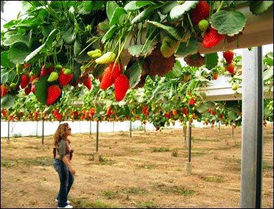 Выращивание клубники в Израиле