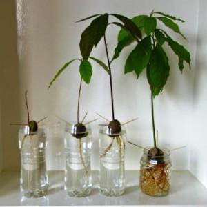 Рост авокадо