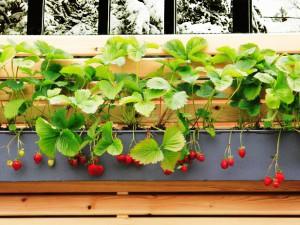 Как вырастить хороший урожай клубники